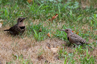 Northern Flicker - Young